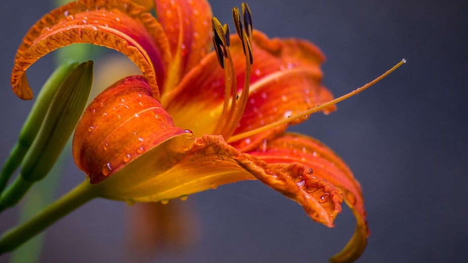 A lovely shot of a lily covered in dew, orange brilliantly contrasting with the blue background... Fab!