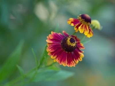Helen´s flower is dancing