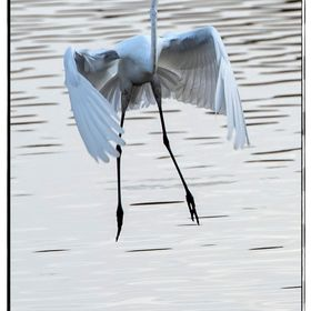Just happened on a heron that took off and landed several times... interesting wing patterns