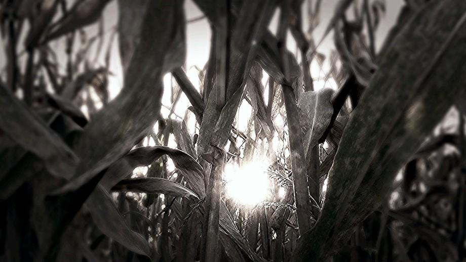 Corn view !