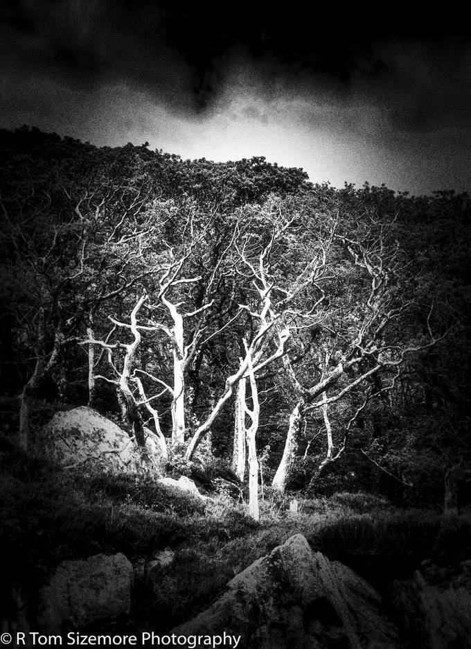 Taken on the Isle of Skye in May 2015.  The starkness of the bark and dark background seemed cried for a photo!