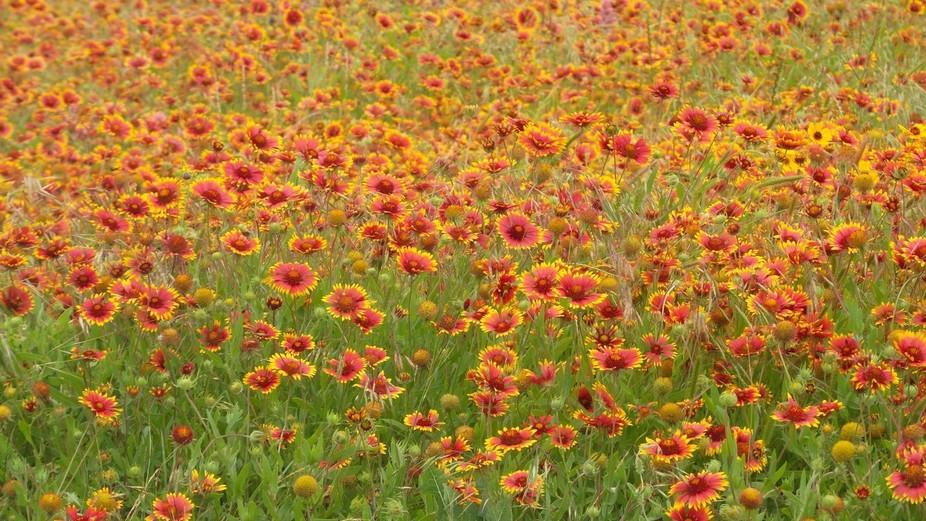 Parents yard flowers