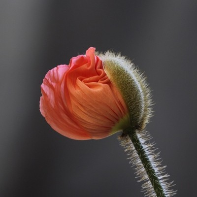 A Poppy is born (3)