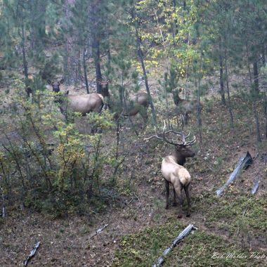 Elk in the Wyoming Black Hills.