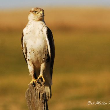 Fergunous Hawk