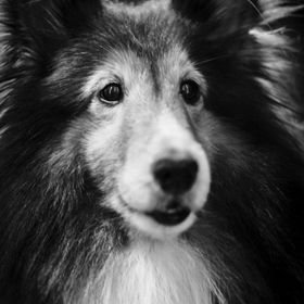 Follow me -> Totoosart  Portrait of my handsome Shetland Sheepdog, Prince, indoors, after a nice bath :) The Original Digital Files for all ph...