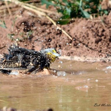 Meadowlark taking a bath