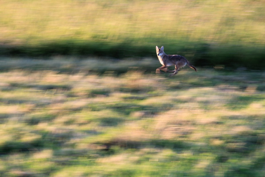 I took a picture of this fox running through a field with a shorter shutter in order to blur it a...