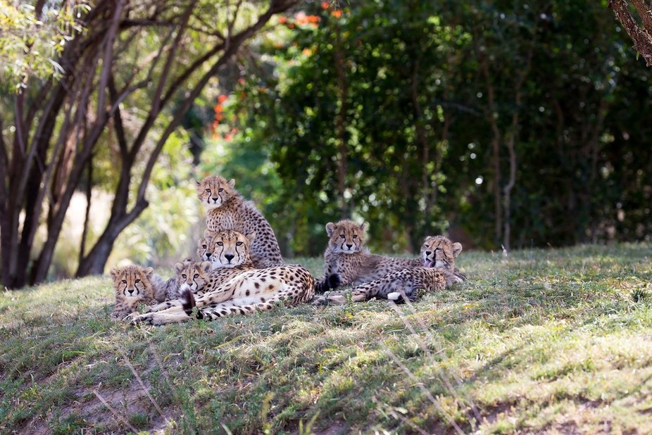 A mother cheetah with her six cubs