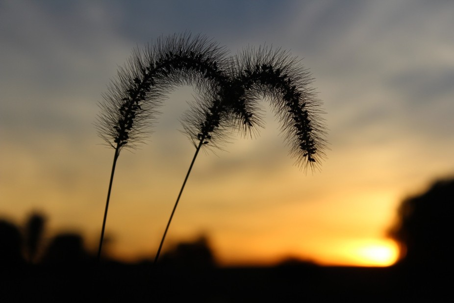 Weeds in the sunset