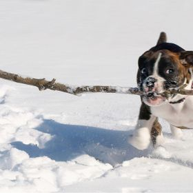 My little Boxer girl playing with a big stick at 9 weeks in her first snow.