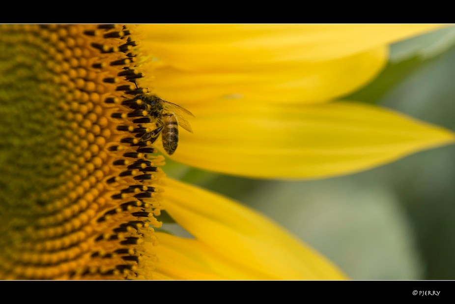 Bee on a sunflower in teh Champagne-Ardennes, France.  ------------------------------------------...