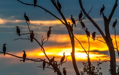 Cormorant Nation