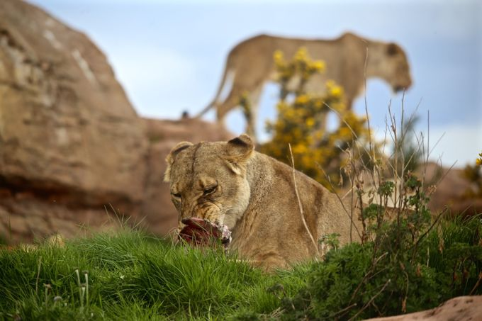 lion feeding by constancemorris - Food Chain Struggles Photo Contest