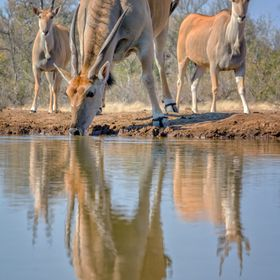 Shot from a hide located in the Mashatu Game Reserve Botswana. They were very timid and it took them a while to finally approach the waterhole fo...