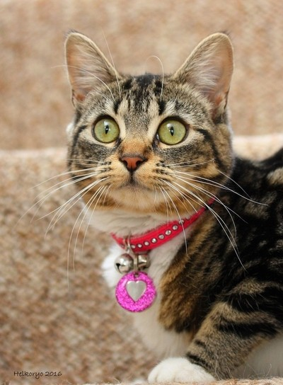 Pretty young female tabby