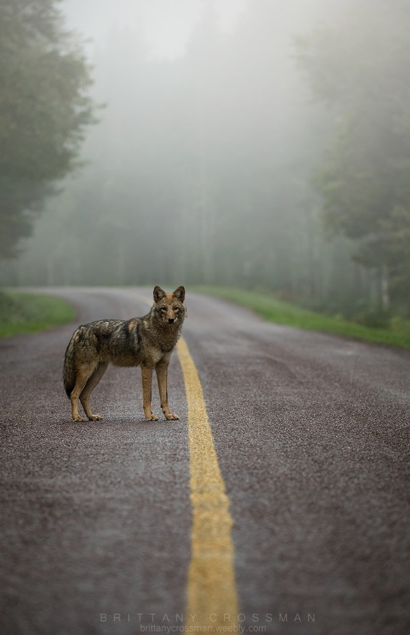 Eastern Coyote by bkcrossman - Mist And Drizzle Photo Contest