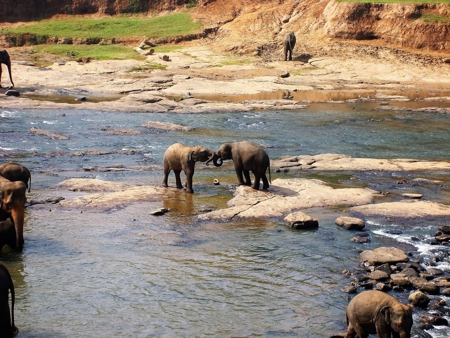 Elephant calves playing around in a waterhole during a rest from their orphanage in Pinnawala