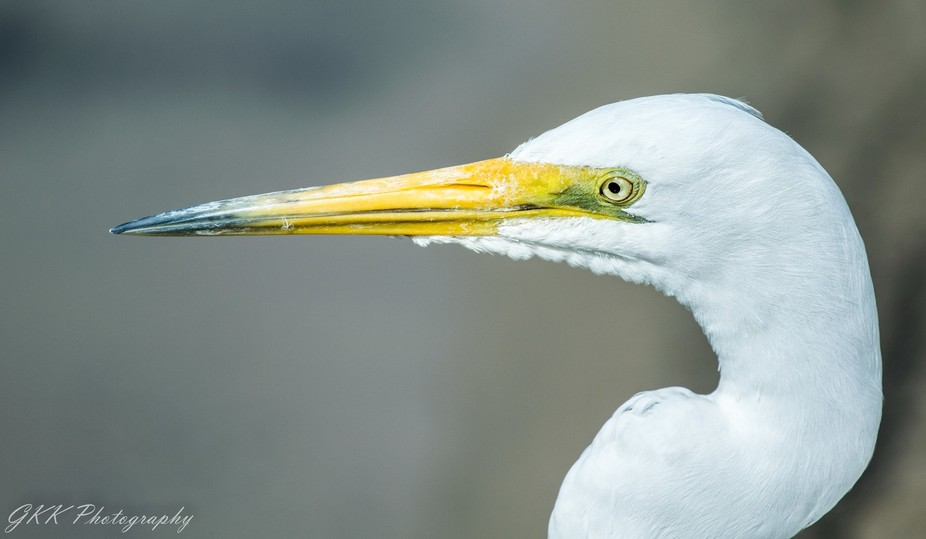 Egret Head Close Up