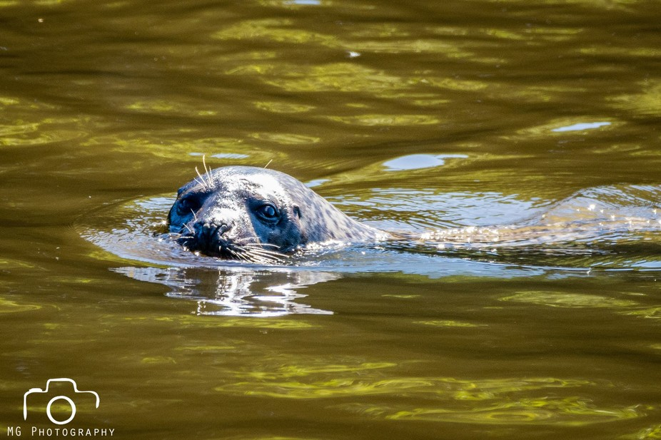 Captured this seal cruising the River Wear, he's not really supposed to be here but ther...