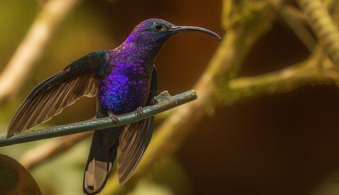 Hummingbird Violet Sabrewing by David-B - Just Hummingbirds Photo Contest