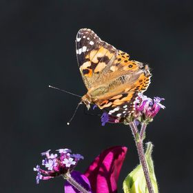 I shot this image of a Painted Lady Butterfly whilst out on a coastal walk in St Abbs Scotland. There was a fair breeze blowing and I was glad I ...