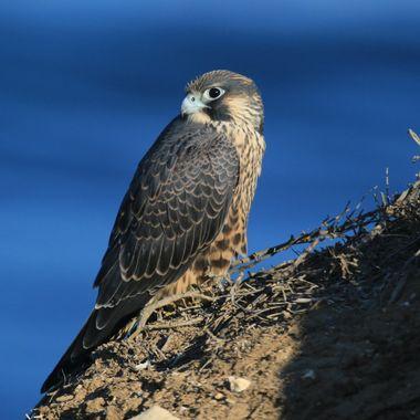 Peregrine Falcon IMG_5588