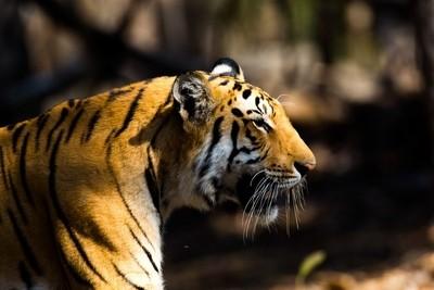 Male Tiger in the Jungle