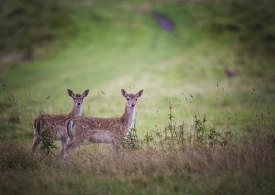 Young deer twins