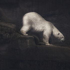 A chilled ice bear climber.