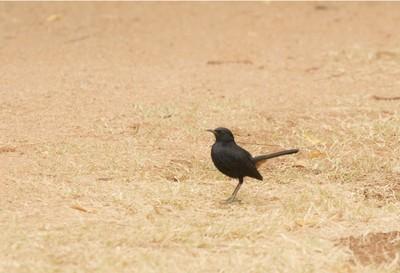 Beautiful Indian Black Robin with Orange Vent