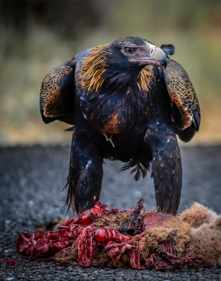 Wedge Tail Eagle by stevegodwin - Just Eagles Photo Contest