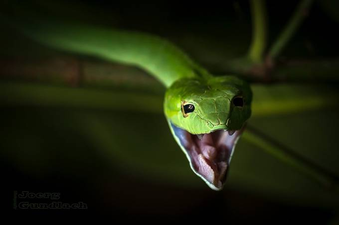 Green Vine Snake in the Garden by Joerg - Reptiles Photo Contest
