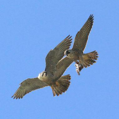 Peregrine Falcon food transfer IMG_3759