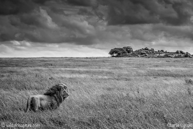 Lion, Plains and Kopjes by charlielynam - Animals In Black And White Photo Contest