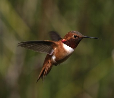 _4157742 copy      Male Rufous Hummingbird. [Selasphorus rufus]