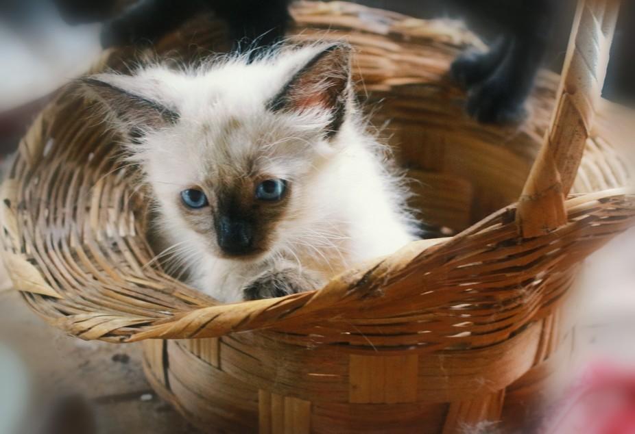 Crazy siamese kitten in basket