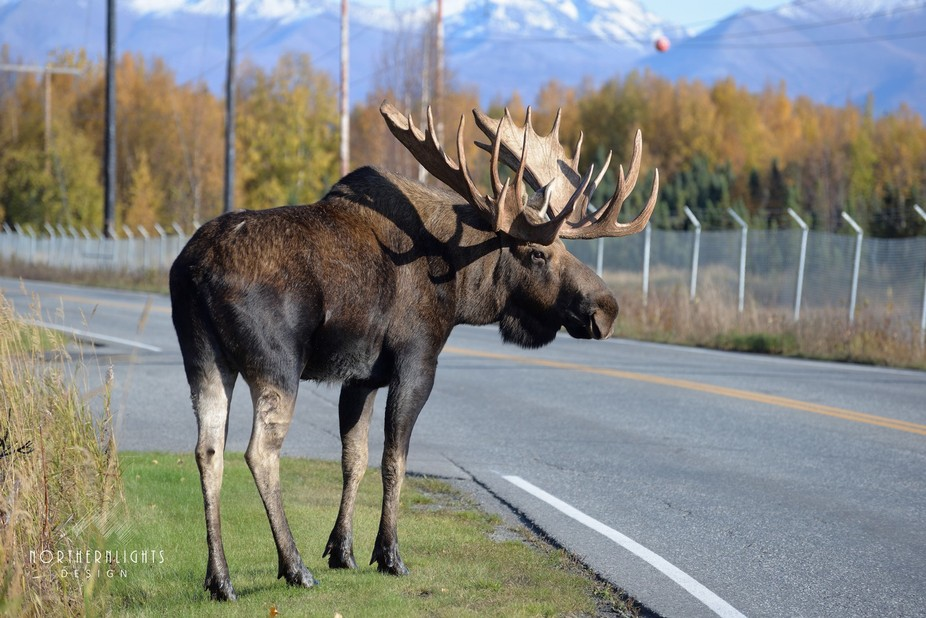 Bull Moose hangs out in the city of Anchorage Alaska