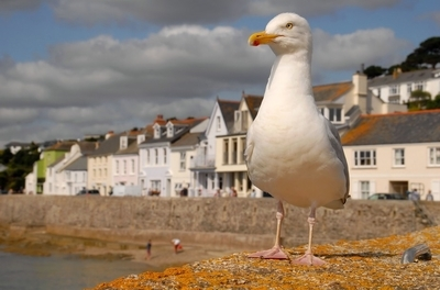 St Mawes Seagull