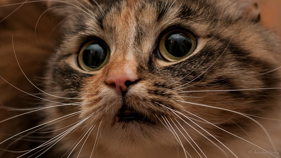 Ar the first glance, this cat seems to be begging for something; however, these eyes are deceptiv...