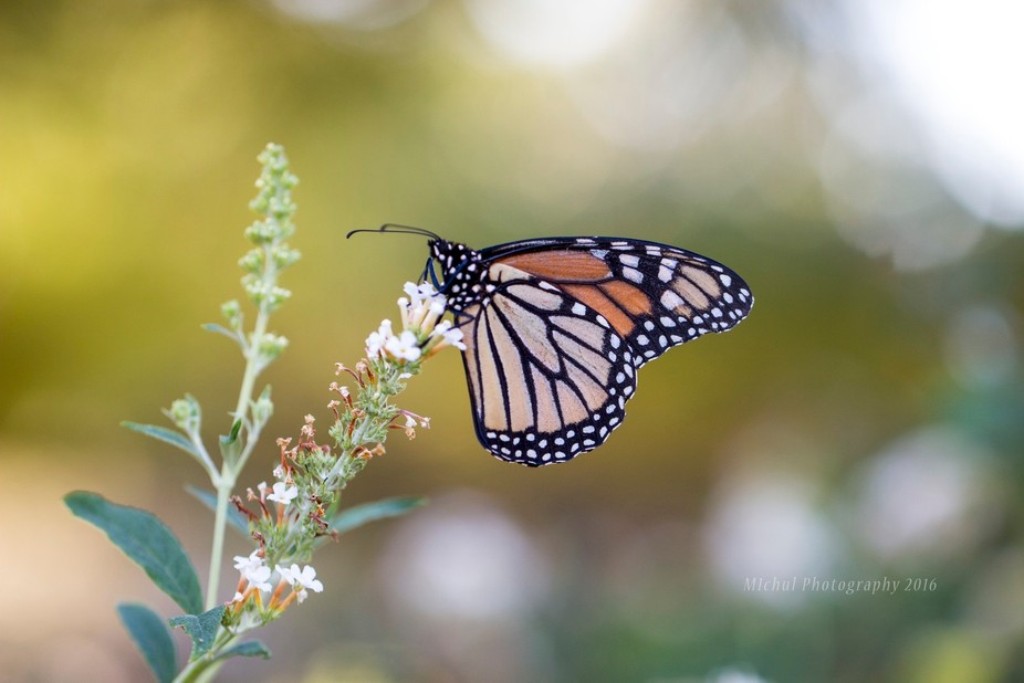 Monarch Butterflies are making their way to Mexico this time of year. This one was kind enough to...