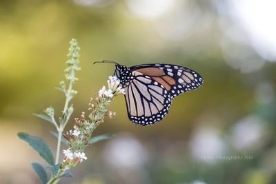 Monarch Friend