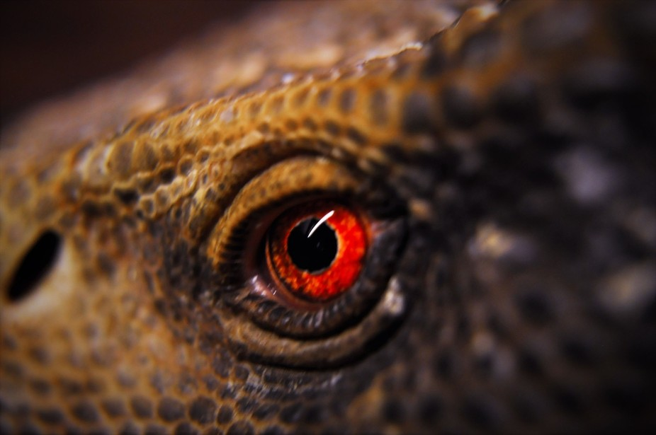 the eyes of our pet bosk monitor lizard