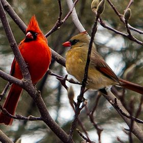 Male and Female Northern Cardinals perched together in the spring.