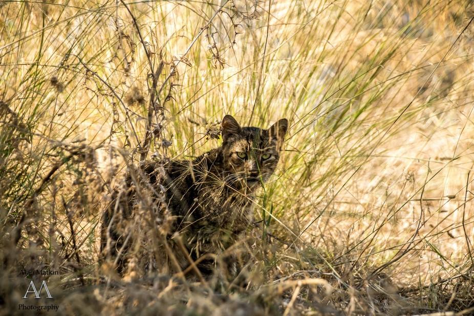 Pussycat peering through his camouflage