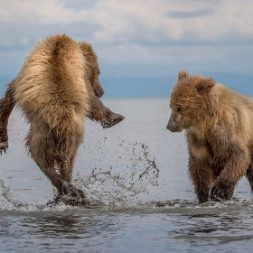 Two brown coastal bear cubs playing in the ocean