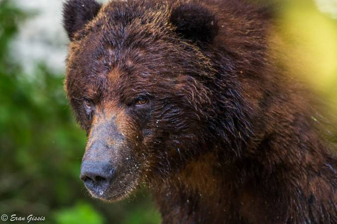 Mr Grizzly by erangissis - Big Mammals Photo Contest