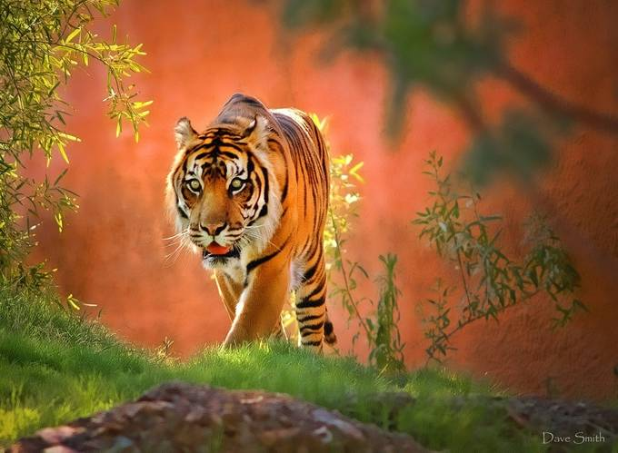 On The Prowl by davesmith351 - Happening At The Zoo Photo Contest