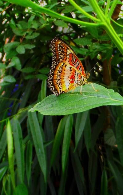 Rainbowbutterfly