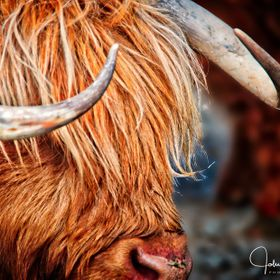 HDR Image of a highland cattle at Walter's Peak, Queenstown, New Zealand